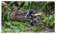 mum with ducklings, Acrylic Print