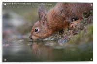 Thirsty red squirrel , Acrylic Print