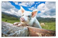 Cute Pig Looks Out On To The Wide World, Acrylic Print