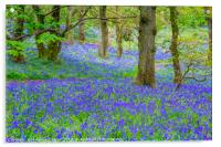 Beautiful bluebells in the forest of Scotland, Acrylic Print