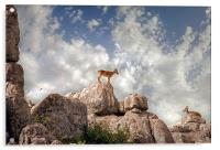 Wild mountain goats - Ibex in El Torcal,  Antequer, Acrylic Print
