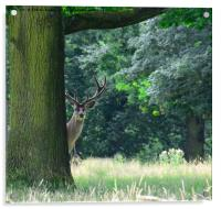 Curious red stag deer, Acrylic Print