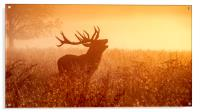 Deer in Golden Light , Acrylic Print