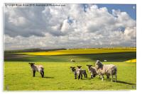 Sheep on the South Downs, Acrylic Print