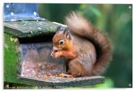 Red Squirrel , Acrylic Print