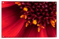 Red Dahlia flower in extreme macro, Acrylic Print