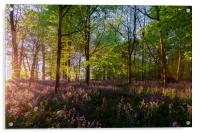 Stunning bluebells woodland at sunrise, Acrylic Print
