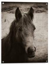 Horse in the field, Acrylic Print