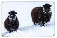 Two black sheep in the snow, Acrylic Print