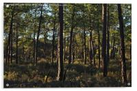 Forest Pine Trees , Acrylic Print