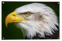 Bald eagle , Acrylic Print