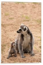 Ring Tail Lemur, Acrylic Print