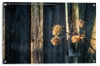 Melancholy Thistle Branch By The Barn Wall, Acrylic Print