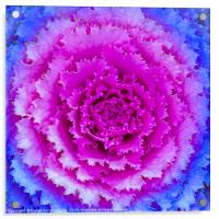 Top View Pink and Blue Plant, Acrylic Print