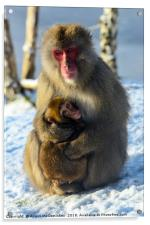 Japanese macaque (snow monkey) with young, Acrylic Print