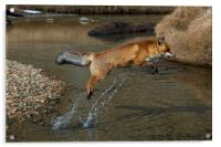 Red Fox jumping over River, Acrylic Print