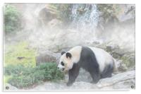 Giant Panda and Waterfall in the Mist, Acrylic Print