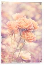 Rosa Sweet Dream (AGM) Vintage, Acrylic Print