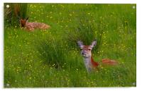 Red Deer in the Buttercups, Acrylic Print