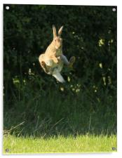 Brown Hare , High Jump    small sizes , Acrylic Print