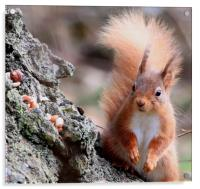 Nuts ! surprised look on Red Squirrel's face, Acrylic Print