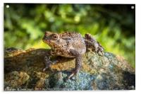 Amphibian, Common British Toad / Frog, Acrylic Print