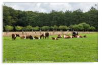 field with dutch belted cows in holland, Acrylic Print