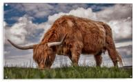 Highland Cattle from Low Point of View, Acrylic Print
