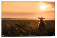 Young sheep in tall grass at sunrise, Acrylic Print