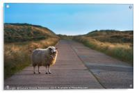 Single sheep on an empty road facing the camera, Acrylic Print