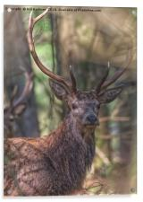 A Red Stag in the woods in the Quantocks Somerset, Acrylic Print