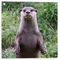 European Otter looking at camera, Acrylic Print