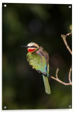 White-fronted bee-eater, Acrylic Print
