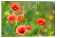 Red Poppies in a field, Acrylic Print