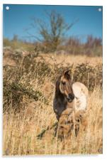 Konik ponies on the banks of Burwell Lode, Acrylic Print