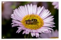 Hoverfly on flower, Acrylic Print