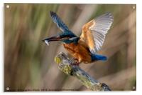 Kingfisher Landing with a fish., Acrylic Print
