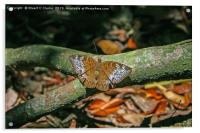 Malay Viscount butterfly, Acrylic Print