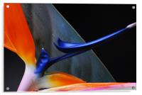 Bird of Paradise , Acrylic Print