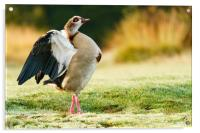 Egyptian goose having morning stretch, Acrylic Print
