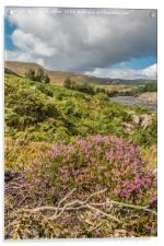Flowering Heather near High Force, Upper Teesdale, Acrylic Print