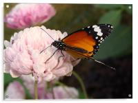A Butterfly on a pink flower , Acrylic Print