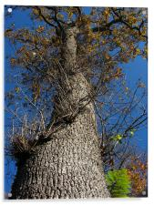 Looking Up a Tree, Acrylic Print