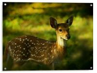 Indian Spotted Deer, Acrylic Print