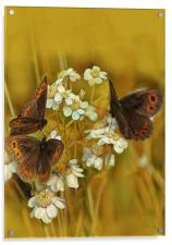 Scotch Argus Butterflies, Acrylic Print