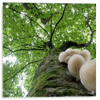 Tehidy Woods: Tree with Porcelain Cap Fungus, Acrylic Print