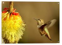 Flight of the Hummer! , Acrylic Print
