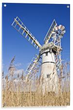 Thurne Mill through the reeds, Acrylic Print