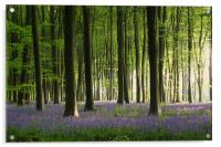 Bluebell wood in Micheldever, Acrylic Print