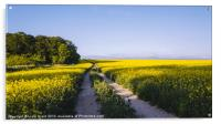Track through a field of yellow rapeseed., Acrylic Print